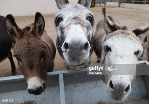 Donkeys feed from a trough at The Donkey Sanctuary Sidmouth on February 18 2009 in Devon England The Donkey Sanctuary one of the UK's largest animal...