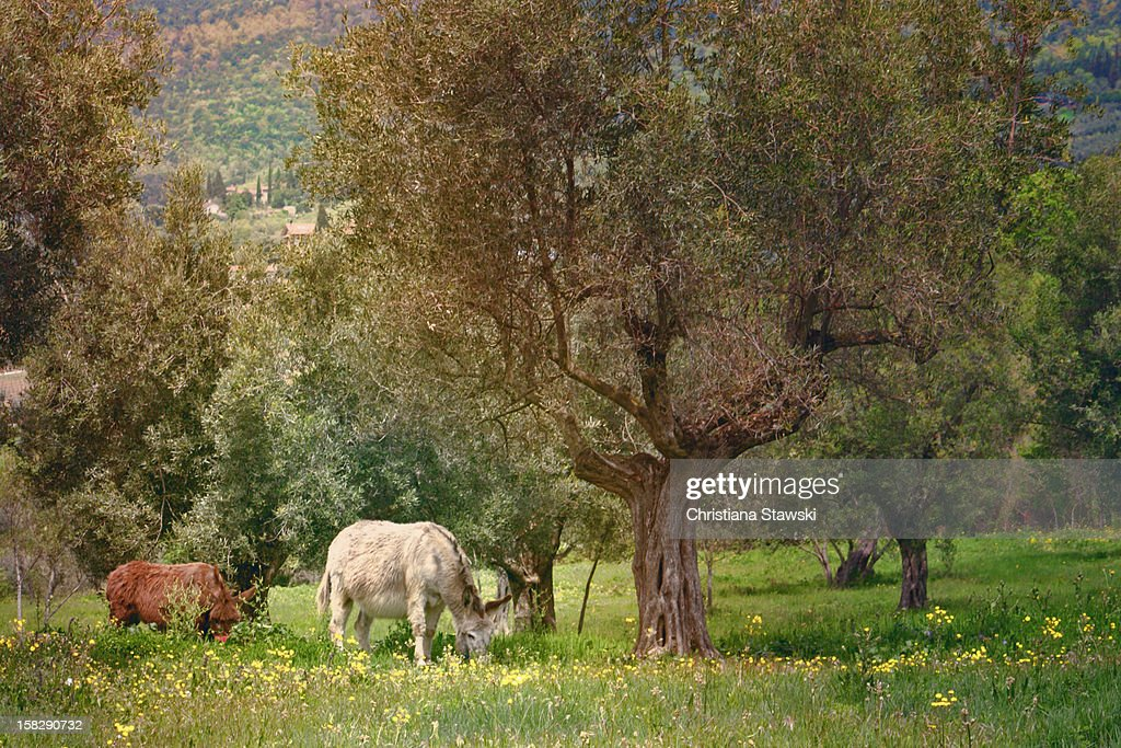 Donkeys grazing under olive trees : Stock Photo