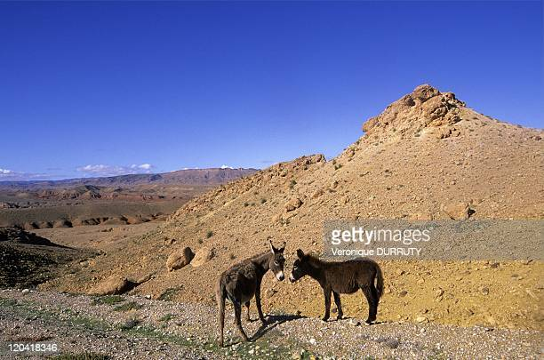 Donkeys in the High Atlas Mountains in Morocco Errachidia province