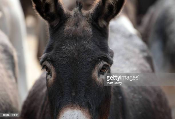 Donkeys looking to be rehomed stand in the yard at a farm they are being cared for near the Donkey Sanctuary on August 16 2010 near Sidmouth England...