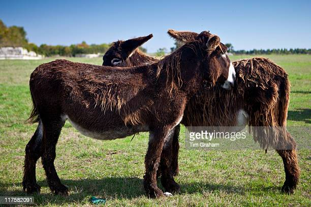 Donkeys mutual grooming and shedding their winter coats in pasture at St Martin de Re Ile de Re France