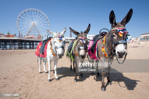 Donkeys on the beach near Central Pier on Blackpool Beach, Blackpool, Lancashire, England, UK