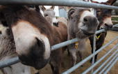 Donkeys sniff at a gate at The Donkey Sanctuary Sidmouth on February 18 2009 in Devon England The Donkey Sanctuary one of the UK's largest animal...