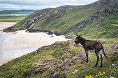 This is a picture of a donkey looking out over one of Ireland's pristine sandy beaches. This was taken in the Downings, Donegal.