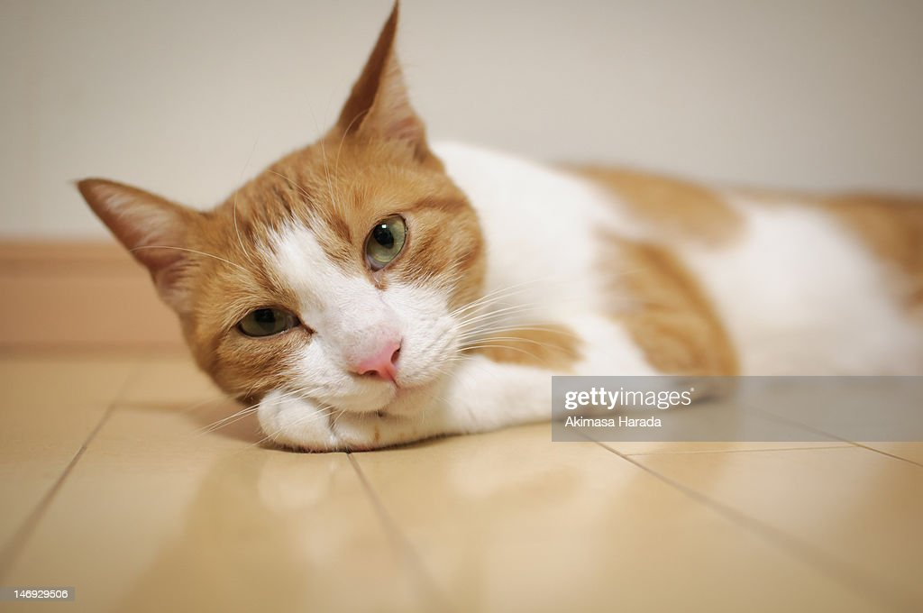 Donmestic cat : Stock Photo