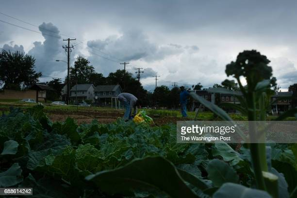 Donnell Cox left and his stepfather James Hinson both of DC hurry to put plants in their plot as the rain begins to sprinkle Clouds loom over a...