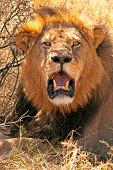 A male lion rests following a heavy feast of Zebra, Hwange National Park, Zimbabwe, Africa