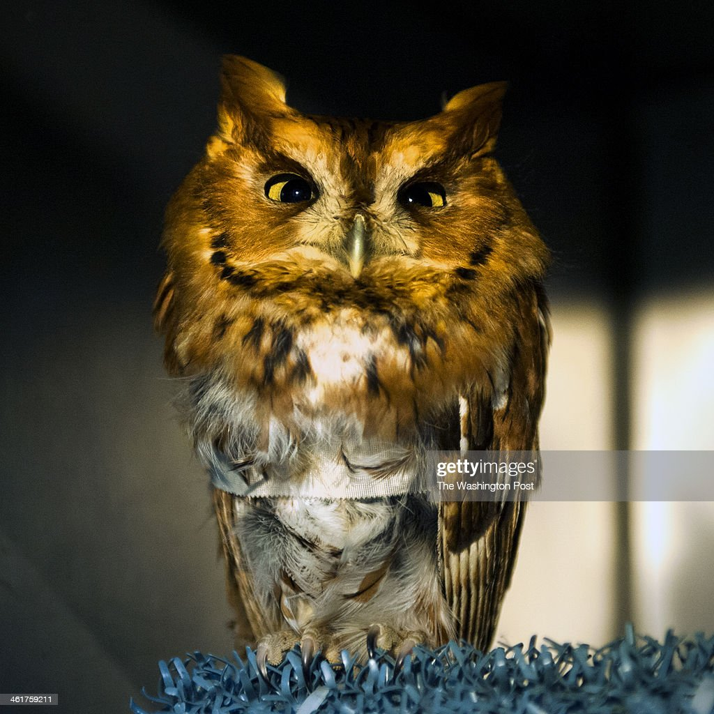 Dora, who was found on a restaurant patio along Rt. 355 in Rockville, has her wing bandaged as she recuperates at the Owl Moon Raptor Center under the care of Suzanne Schumacher Thursday January 2, 2014 in Boyds, MD. The female Screech Owl has a fractured right humerus.