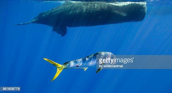 Dorado And Whale