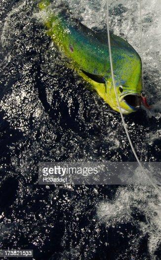 dorado caught game fishing in the tropics