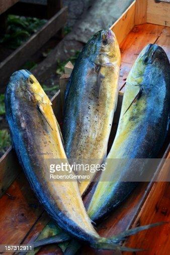 Dorado fishes