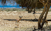 Dorcas gazelle(Gazella dorcas) inhabits desert areas of Africa and Middle East