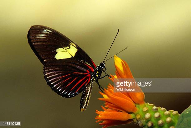 Doris longwing butterfly on gurania flower buds Laparus doris also known as Heliconius doris Native to northwestern South America and north to...