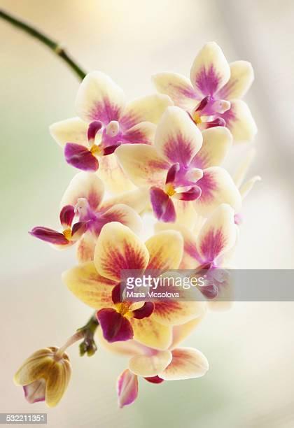 Doritaenopsis Orchid Sogo Gotris Flower Group