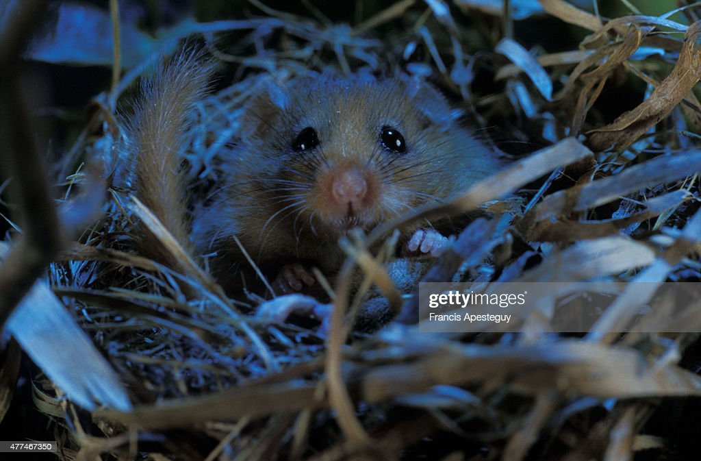 'A dormouse sometimes called a hazel mouse Muscardinus avellanarius first described by the Swedish naturalist Carl von Linne in 1758 Here it is...