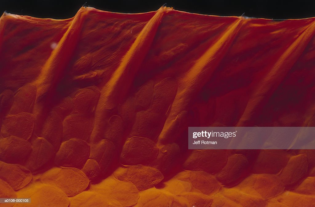 Dorsal Fin of Garibaldi : Stock Photo