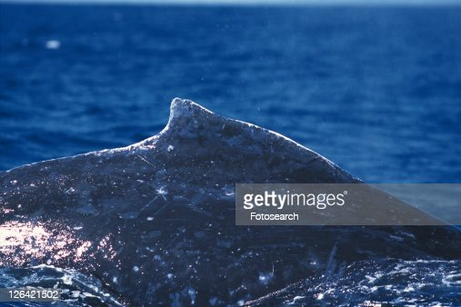 Dorsal Fin of Humpback Whale : Stock Photo