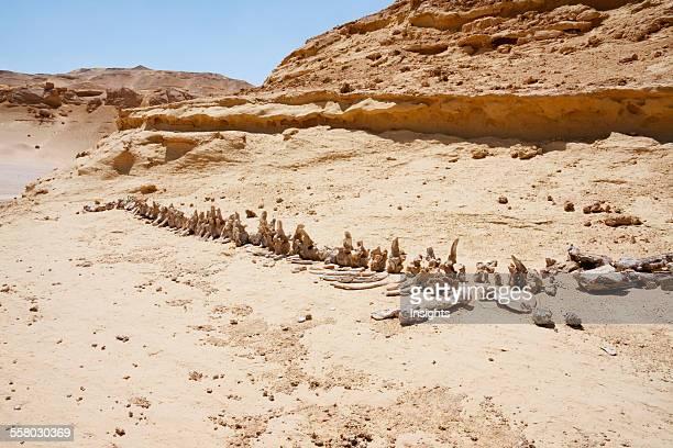Dorudon Atrox Whale Skeleton In Wadi El Rayan El Fayoum Egypt