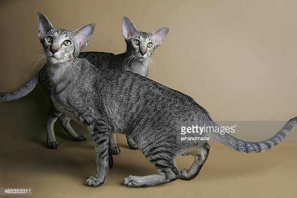 ドット入りオリエンタル猫ダンス