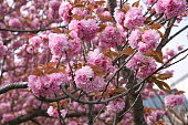 Double cherry blossoms are in full bloom.