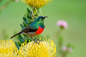 Double collard sunbird sitting on a yellow pincushion protea, the colors are phenomenal