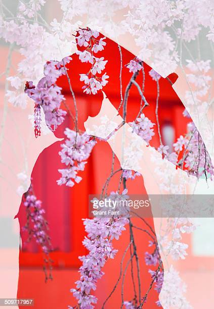 Double exposure:Geisha  and cherry blossoms.