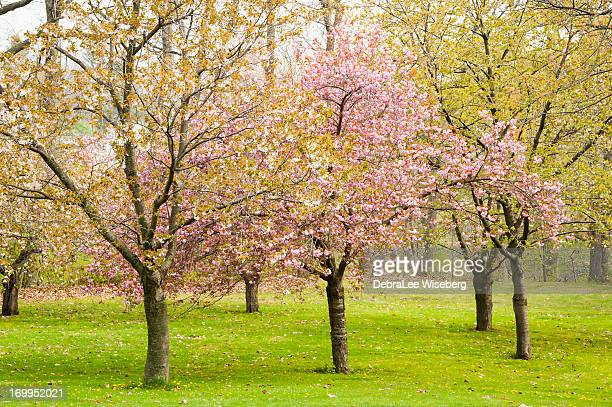 Double Flowering Almond Trees