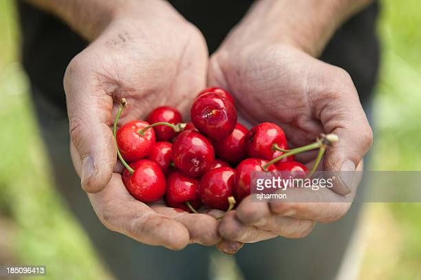 Double Handful of Ripe Picked Organic Red Cherries