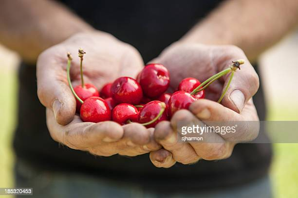 Double Handful Ripe Freshly Picked Organic Red Cherries