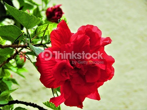 Double Hibiscus Flower Stock Photo Thinkstock