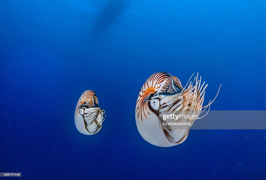 Double Nautilus