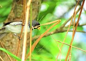 Double-collared seedeater.