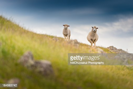 doubtful sheep