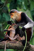 Douc langur (Pygathrix nemaeus) with young sitting on branch, eating, close-up