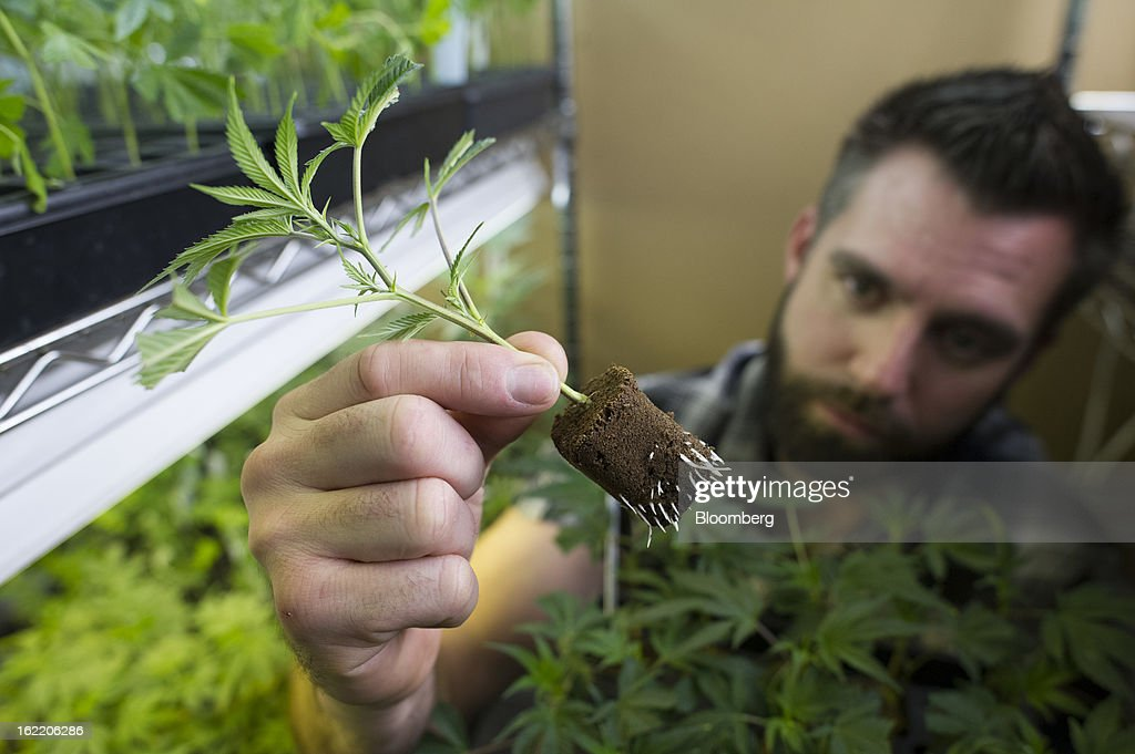 Douglas Chloupek, co-founder and chief executive officer of MedMar Healing Center, a medical-marijuana dispensary, looks at the root structure of a young marijuana plant in San Jose, California, U.S., on Thursday, Feb. 7, 2013. San Jose is the medical-marijuana capital of Silicon Valley with 106 clinics, about twice as many per square mile as Los Angeles. Photographer: David Paul Morris/Bloomberg via Getty Images