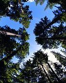 Douglas fir (Pseudotsuga douglasii) canopy, view from below