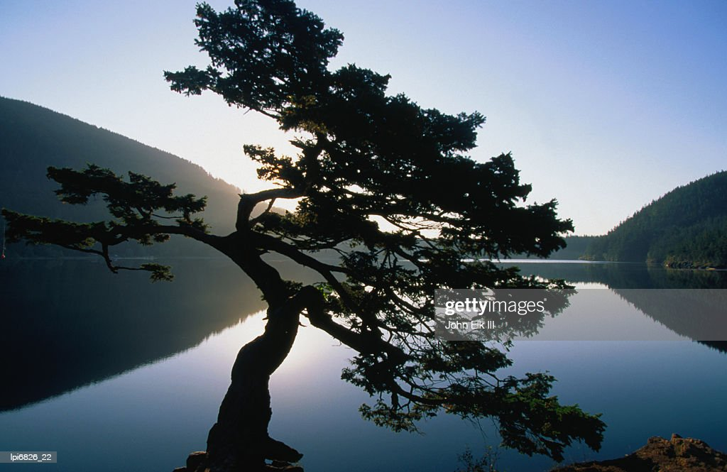 Douglas fir (Pseudotsuga menziesii)in Cascade Lakes, Low angle view, Moran State Park, United States of America : Stock Photo