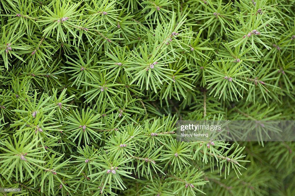douglas fir : Stock Photo