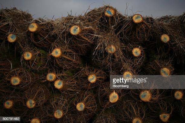 Douglas Fir trees sit stacked before being loaded onto a truck during harvest at Brown's Tree Farm in Muncy Pennsylvania US on Tuesday Dec 8 2015...