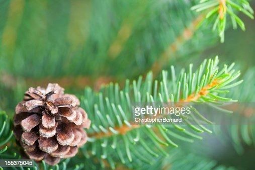Douglas fir with pine cone