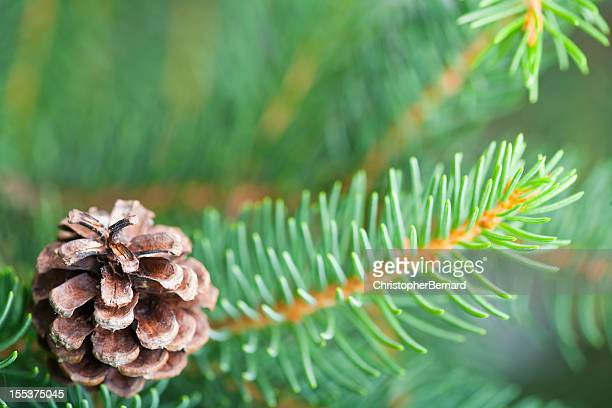 Douglas fir with pine cone