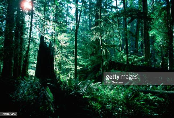 Douglas firs and ferns Cathedral Grove Macmillan Provincial Park British Columbia Canada