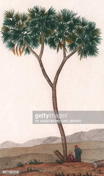Doum palm colour copper engraving retouched in watercolour 9x15 cm from Dizionario delle scienze naturali compilato da vari professori del Giardino...