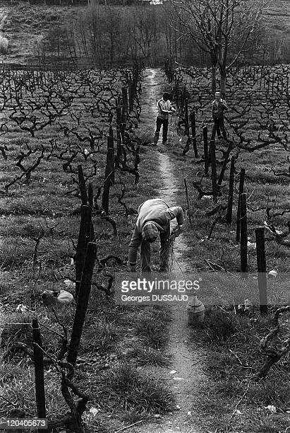 Douro in Regua Portugal Winter is the season of pruning