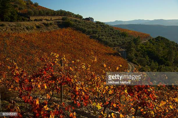 A vineyard in the fall.