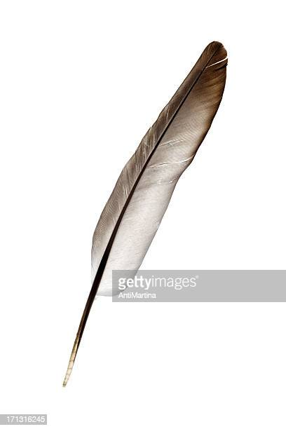 dove feather isolated on white