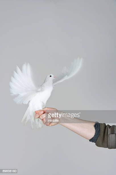 A dove flapping its wings