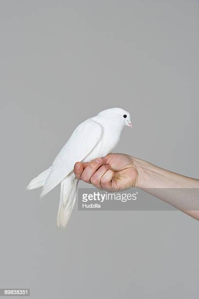 A dove perched on a human hand