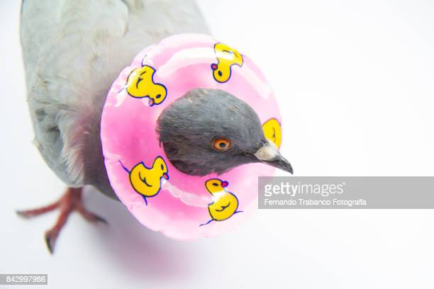dove with a float around the neck