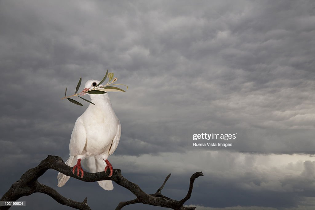 Dove with olive branch : Stock Photo